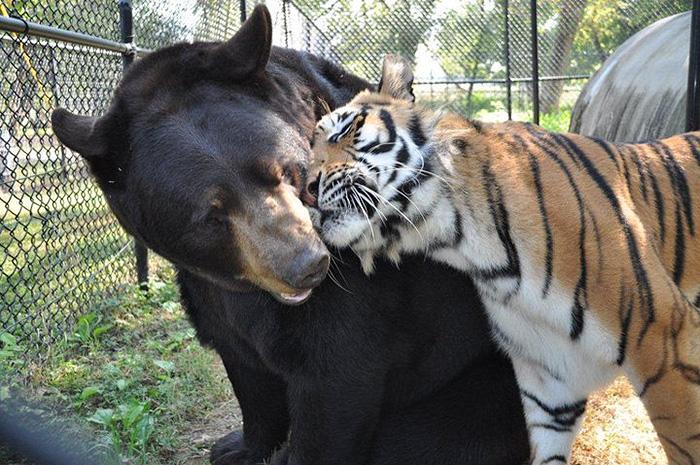 lev tiger medved (4)