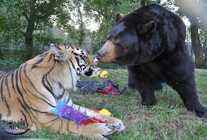 lev tiger medved (6)