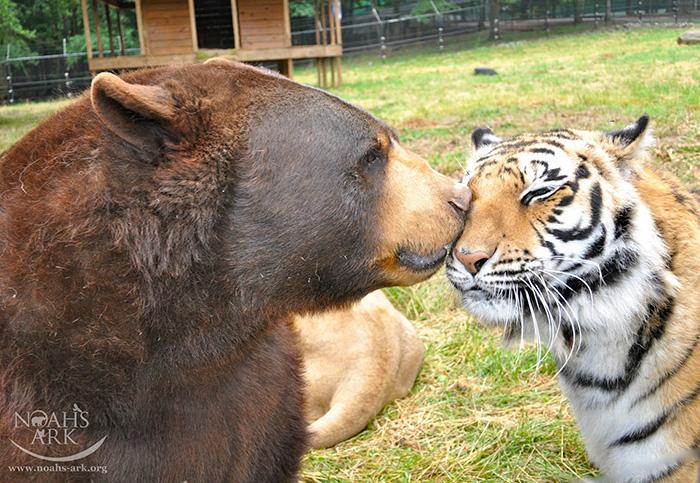 lev tiger medved (9)