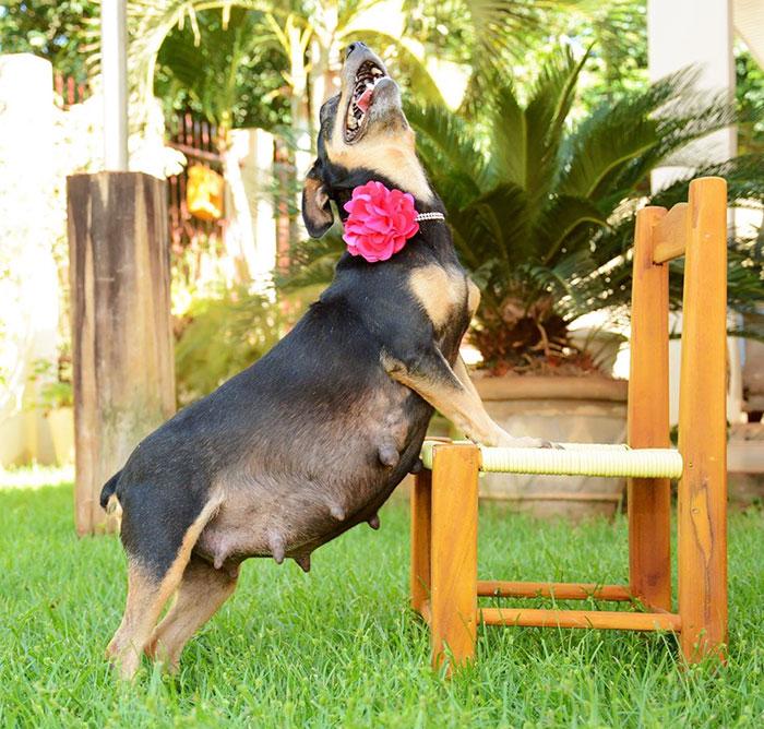 tehotny pes (4)