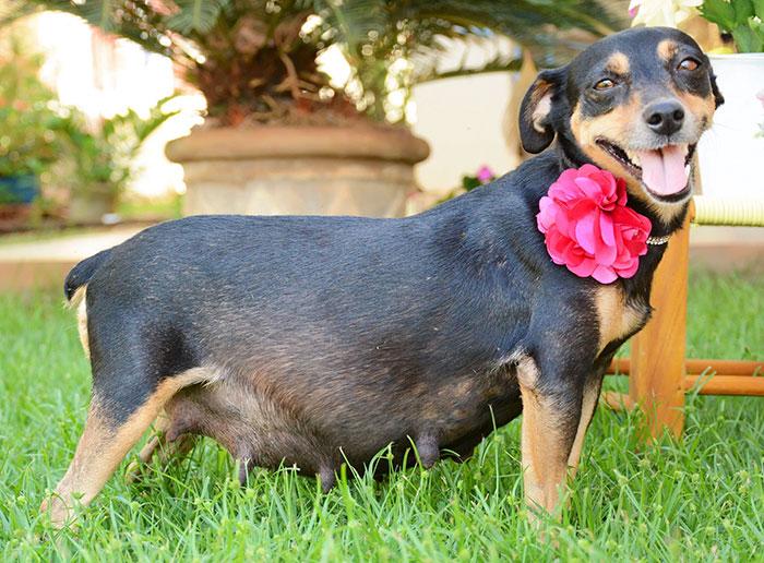 tehotny pes (7)