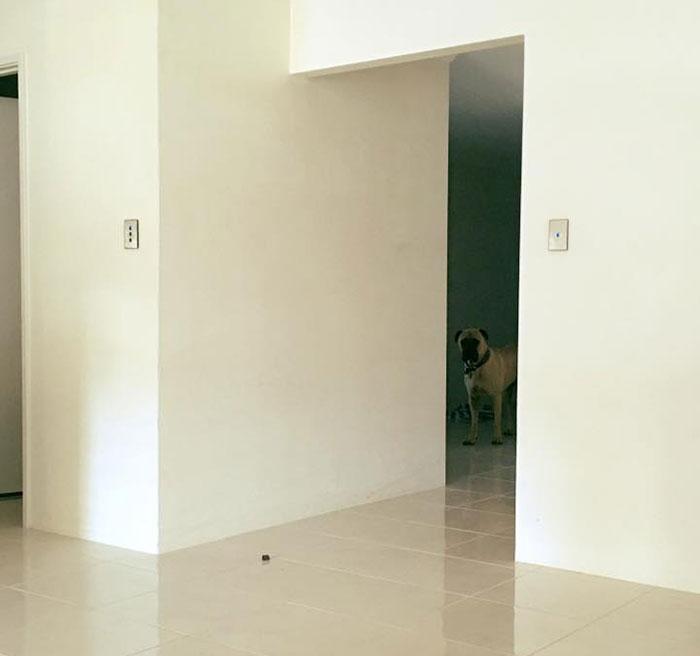 creepy-dog-stalks-owner-cyrus-bullmastiff-lauren-birney-11