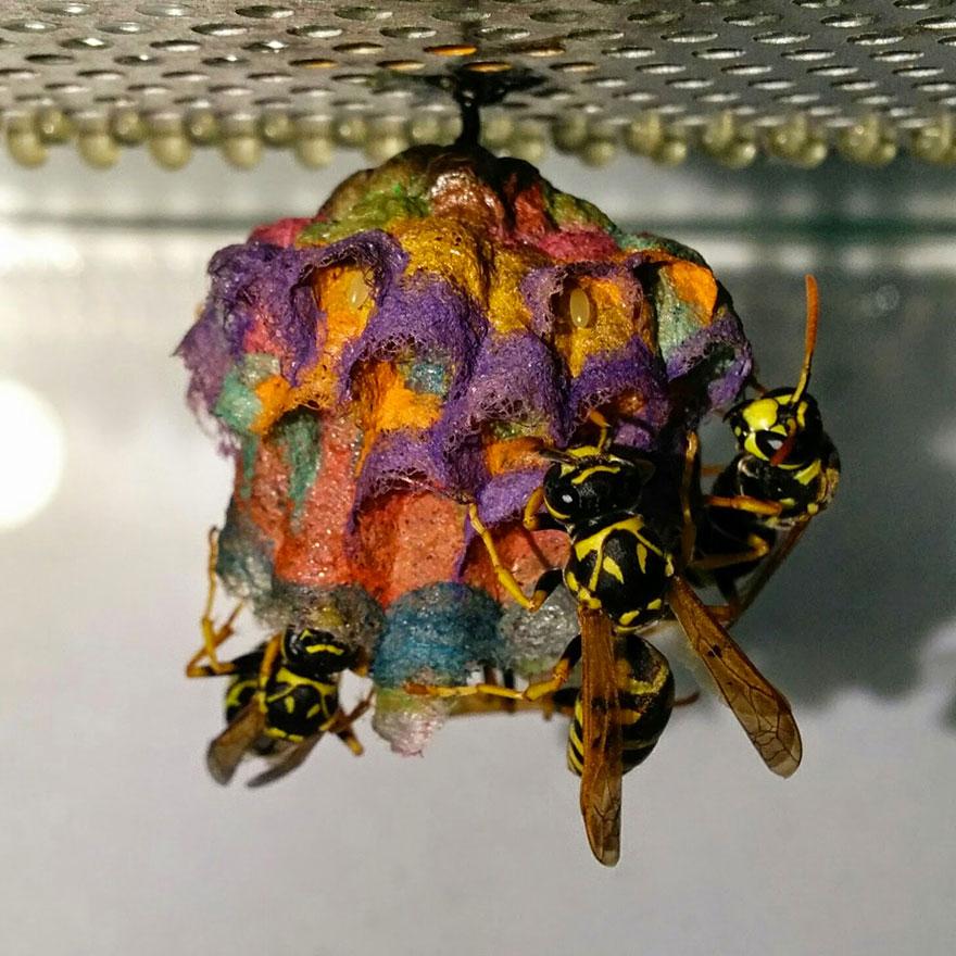 farebne osie hniezda (1)