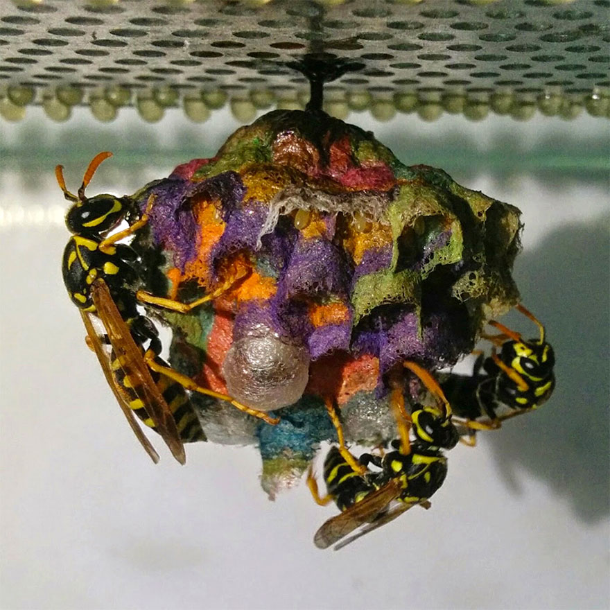 farebne osie hniezda (4)