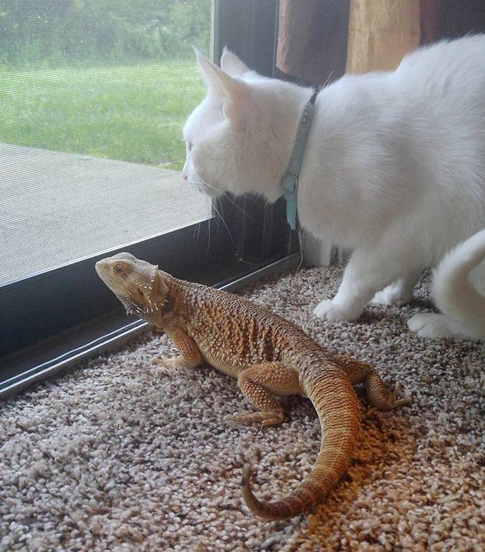 leguán a mačka (3)