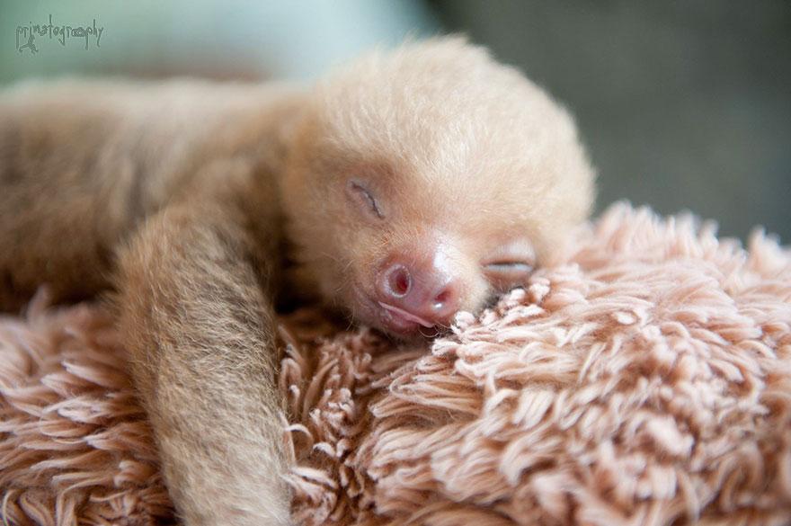 milé malé lenochody (1)