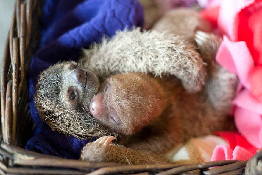 milé malé lenochody (10)