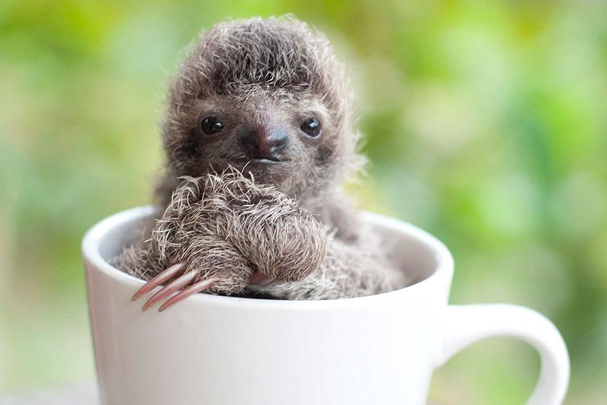 milé malé lenochody (2)