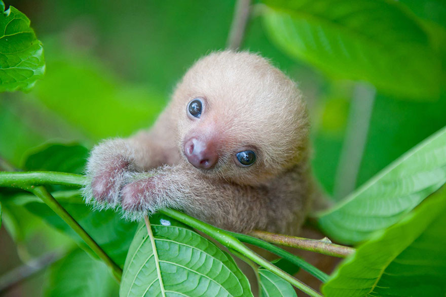 milé malé lenochody (4)