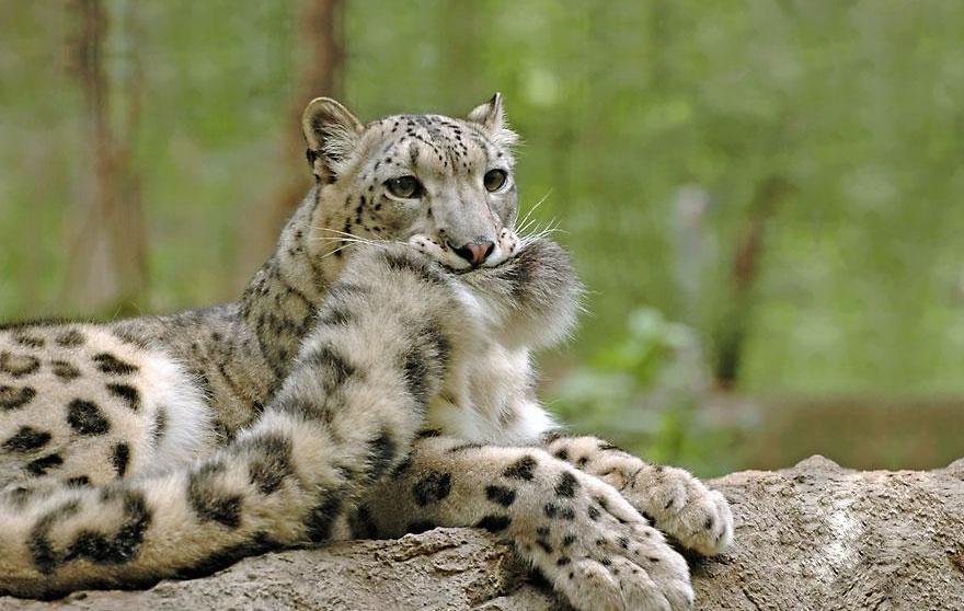 snezne leopardy (1)