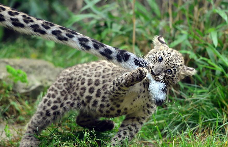 snežné leopardy (11)