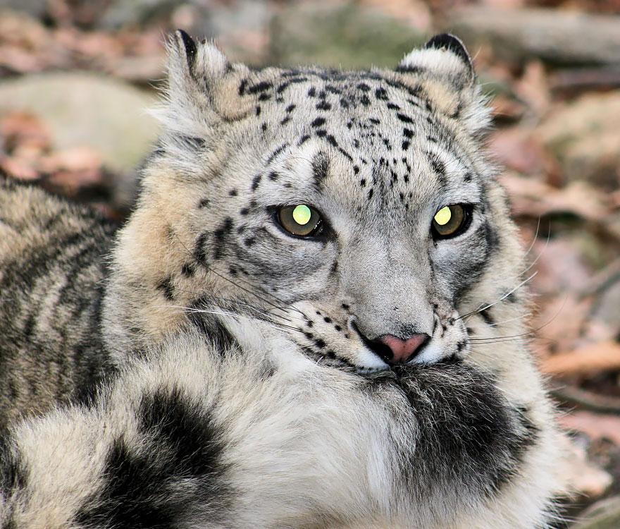 snezne leopardy (12)