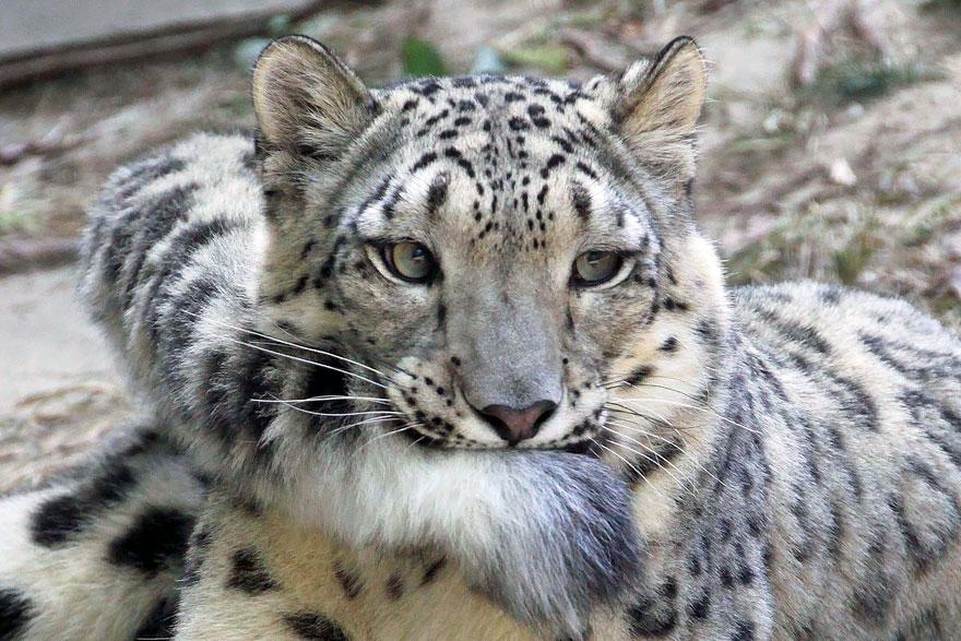 snežné leopardy (2)