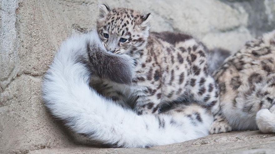 snezne leopardy (3)