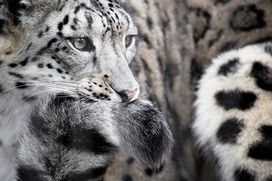 snezne leopardy (9)