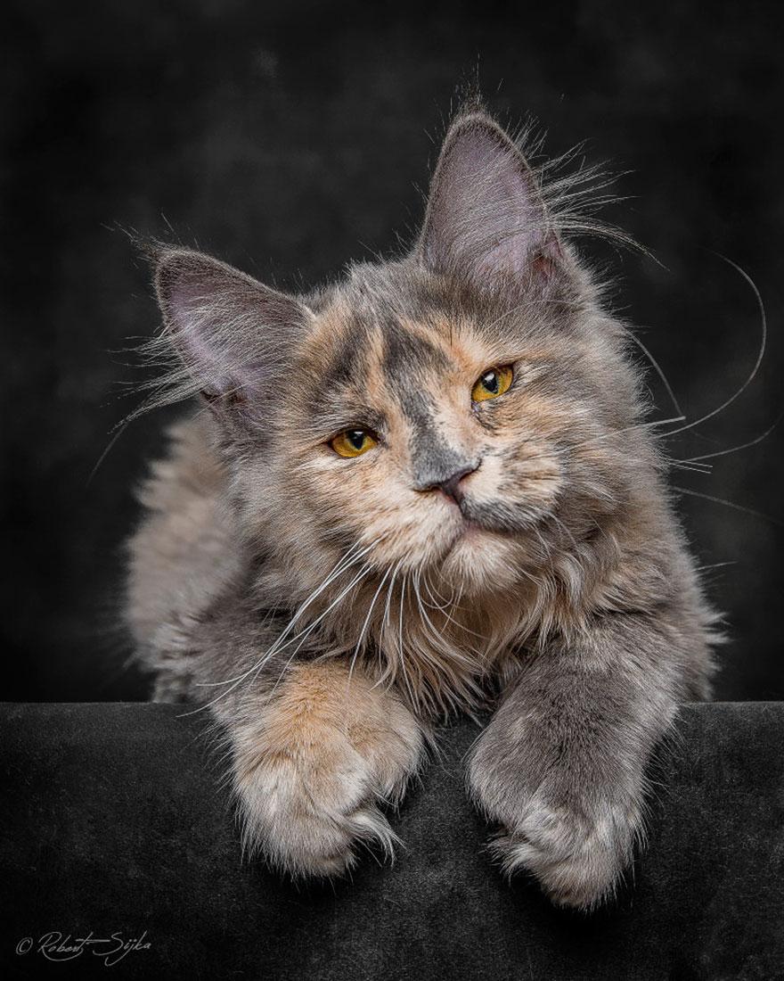maine-coon-cat-photography-robert-sijka-23-57ad8ee420bcb__880