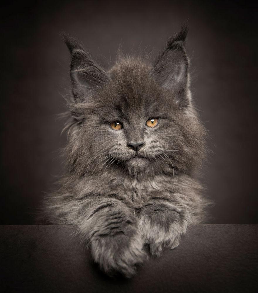 maine-coon-cat-photography-robert-sijka-43-57ad8f05d53e9__880
