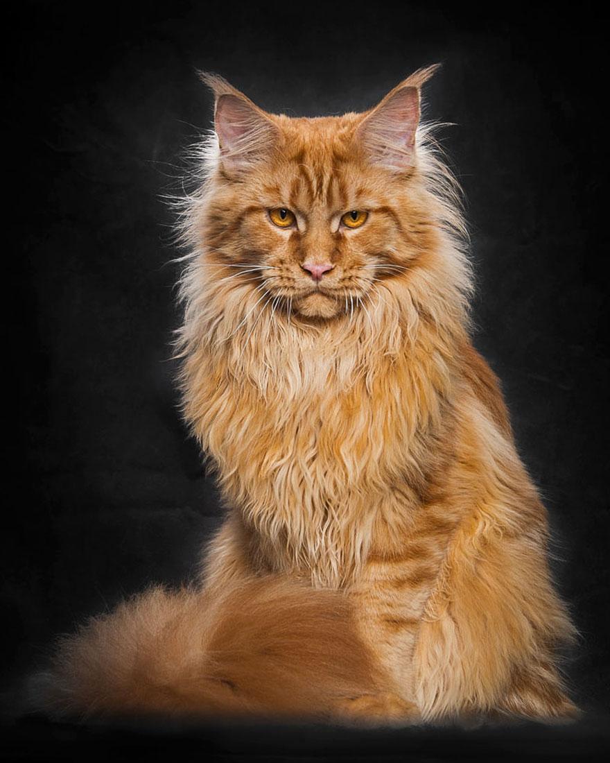 maine-coon-cat-photography-robert-sijka-51-57ad8f13b7436__880