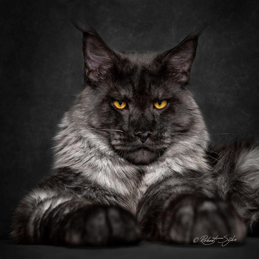 maine-coon-cat-photography-robert-sijka-65-57ad8f2e15bd3__880