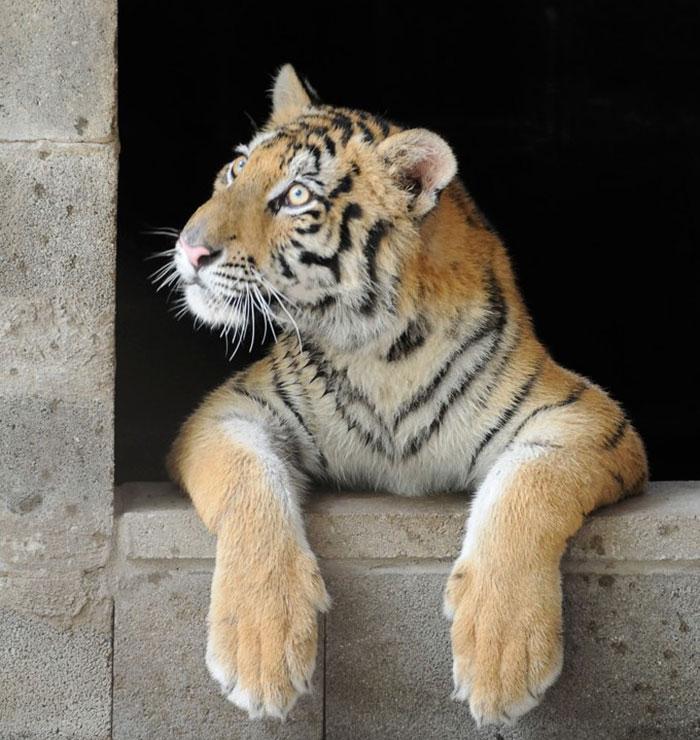 zachraneny tiger (2)