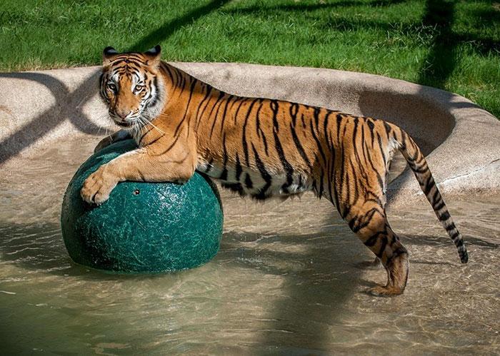 zachraneny tiger (4)