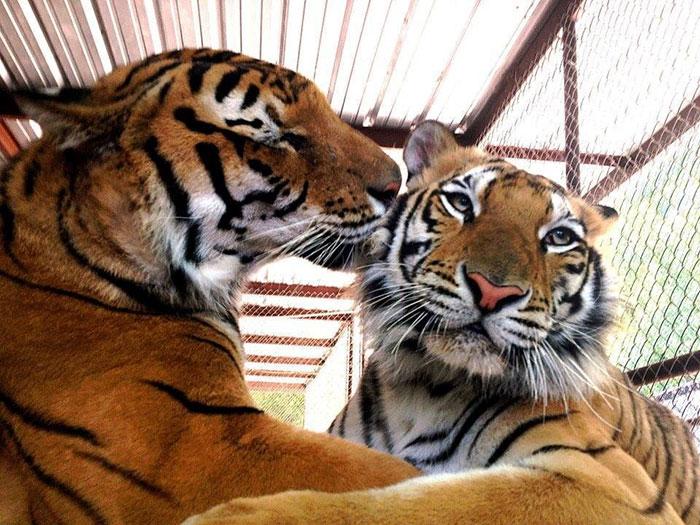 tigríča (5)