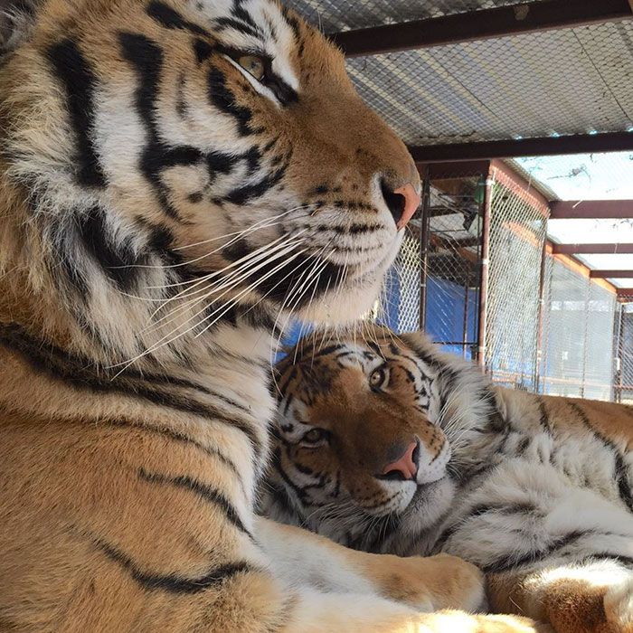 zachraneny tiger (6)