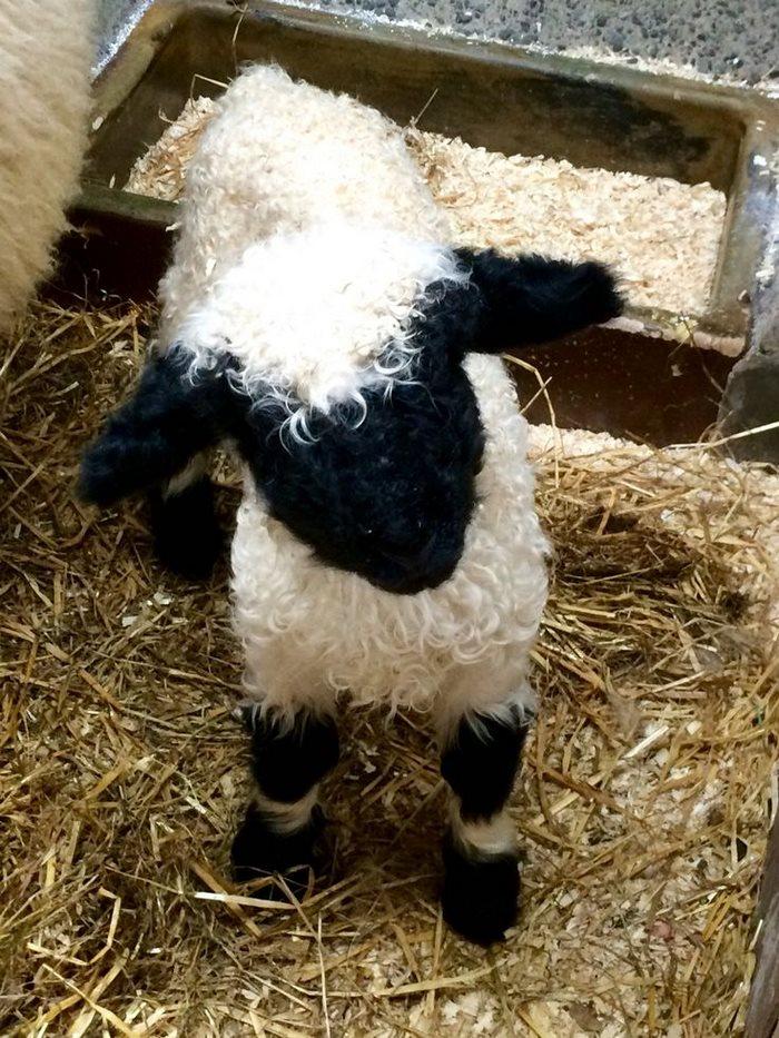 cierno-biele-ovce-3