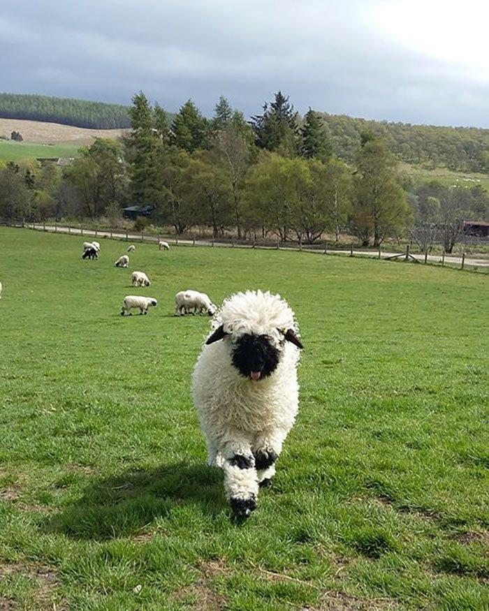 cierno-biele-ovce-4