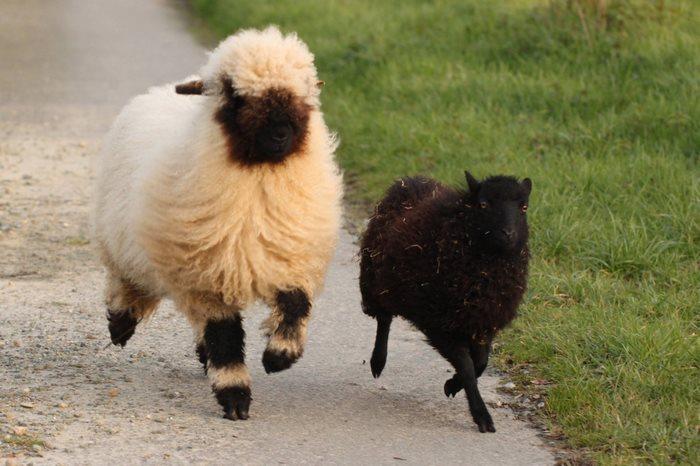 cierno-biele-ovce-5