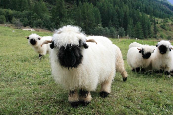 cierno-biele-ovce-7