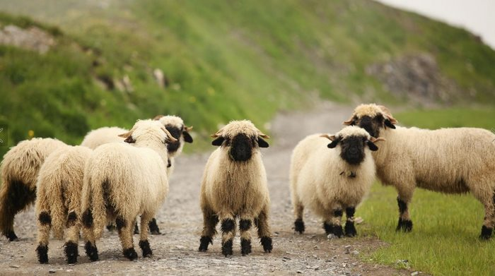 zlaté ovce