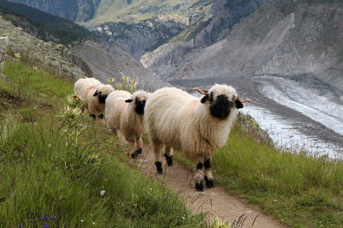 cierno-biele-ovce-9