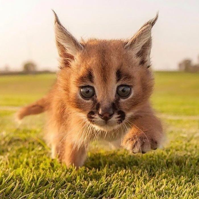 mačkovitá šelma