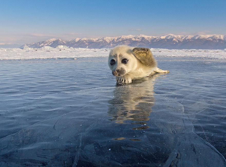 mláďa tuleňa