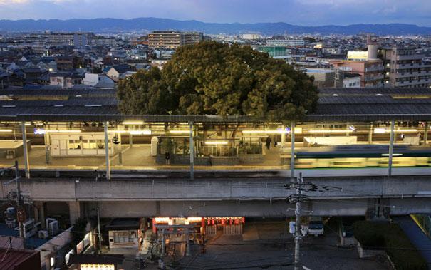 700 rocny strom v japonsku (1)