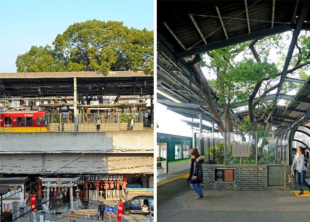 700 rocny strom v japonsku (3)