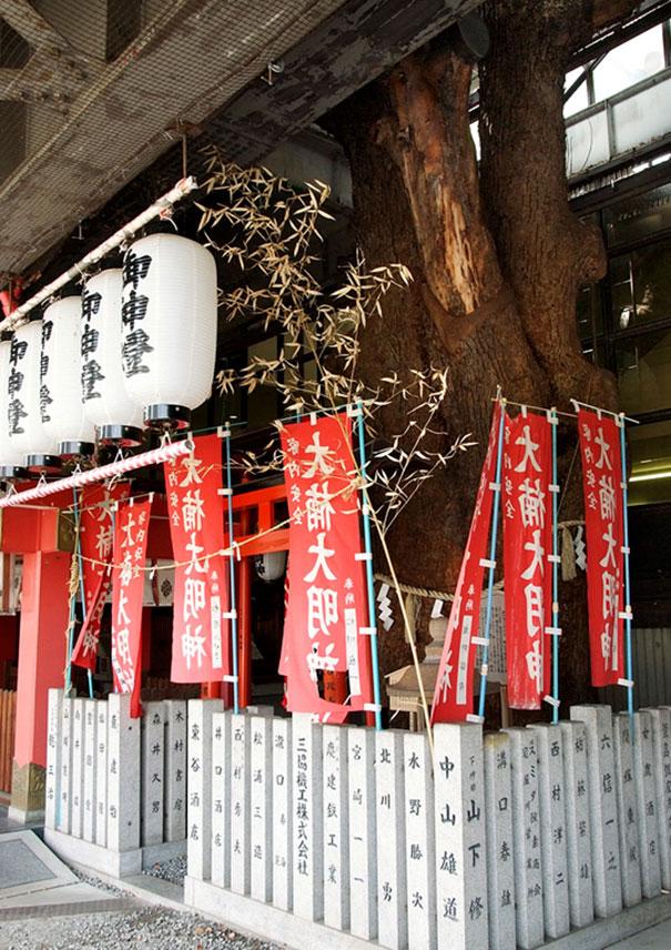 700 rocny strom v japonsku (5)