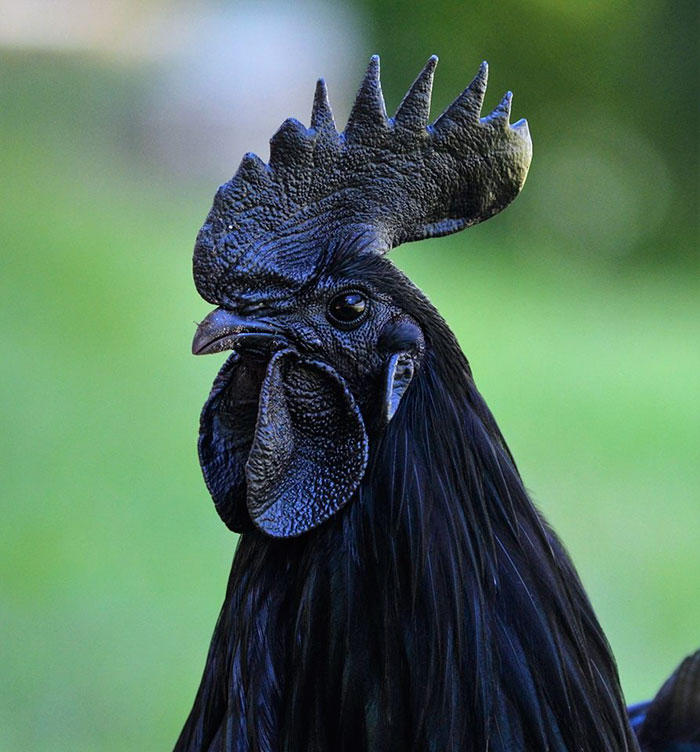 čierna slipka (4)