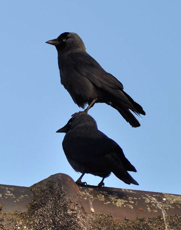 silne vrany (4)