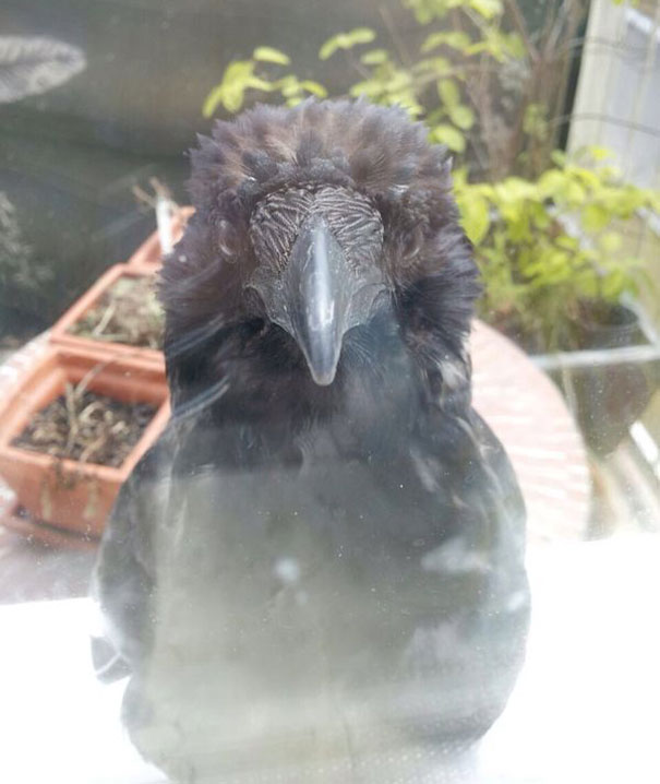 tvrdasi vrany (5)