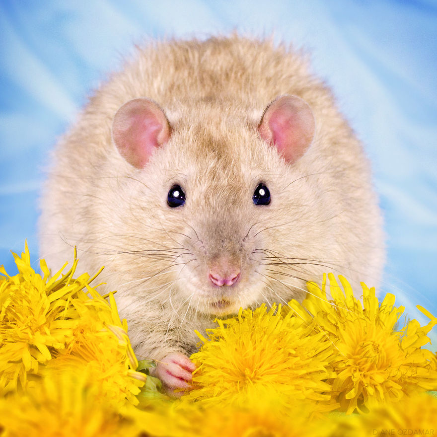 mile potkany (10)
