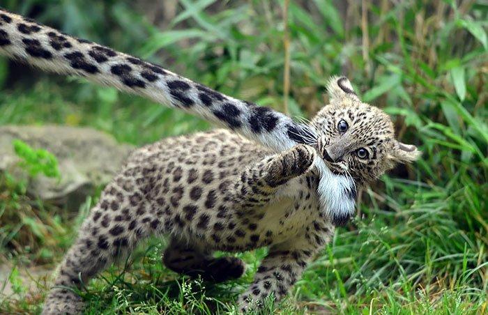snezny leopard (1)