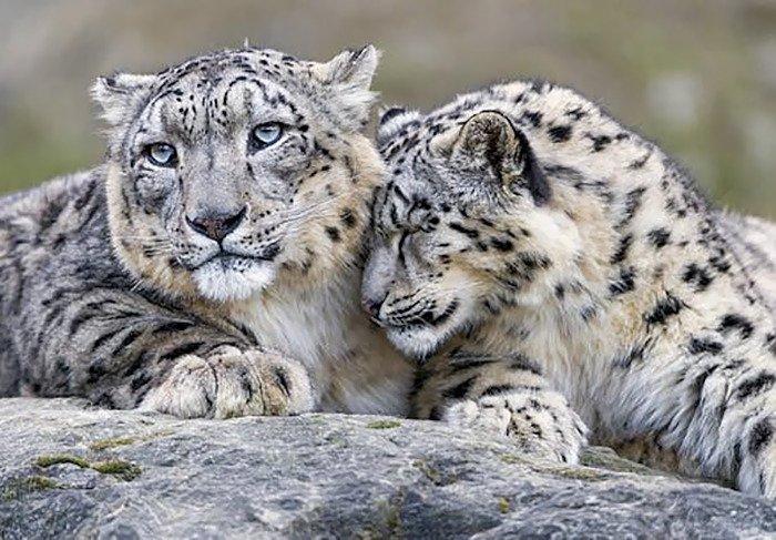 snezny leopard (12)