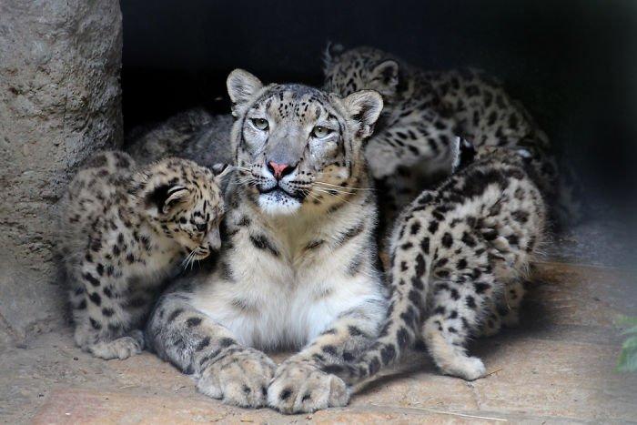 snezny leopard (15)