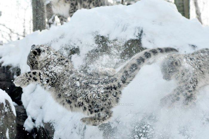 snezny leopard (4)