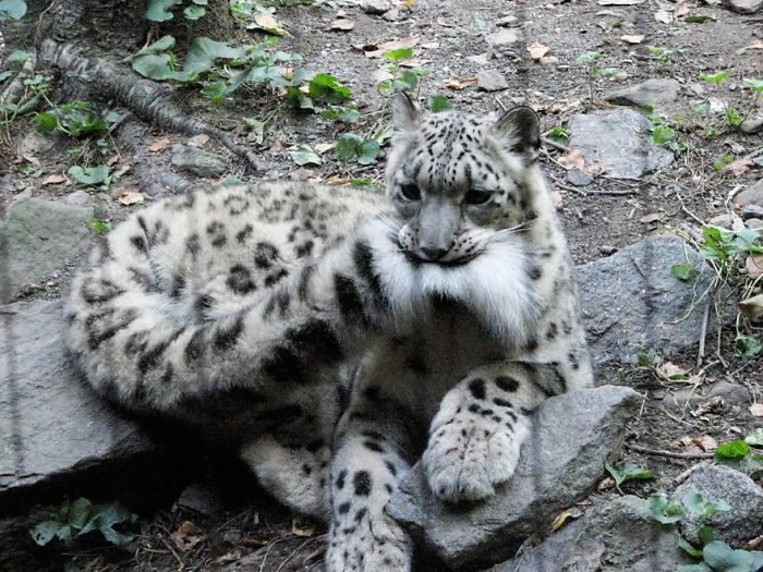 snezny leopard (5)