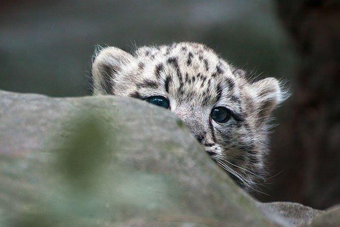 snežné leopardy (7)