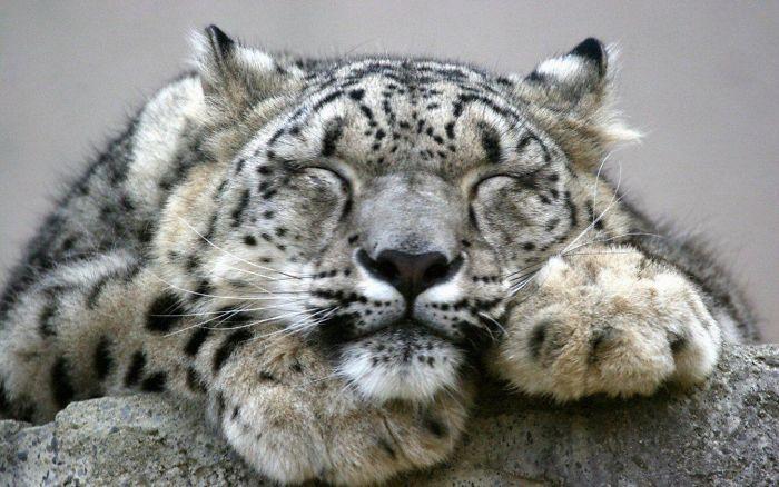 snezny leopard (8)