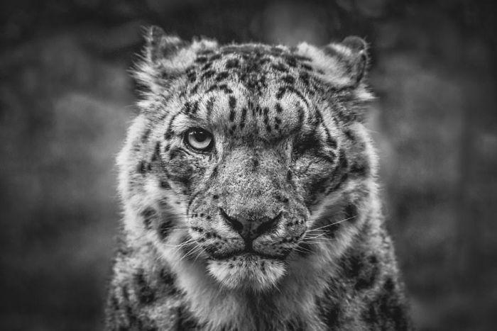 snezny leopard (9)